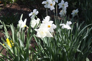 Daffodils have naturalized throughout Gloucester and Mathews County, Virginia.