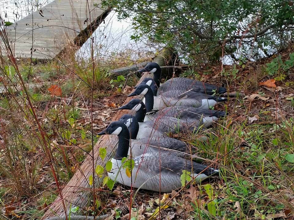 charlton hill goose decoys at waters edge